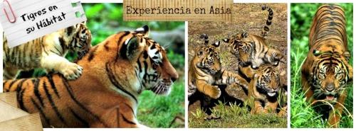 Tigres Tailandia turismo