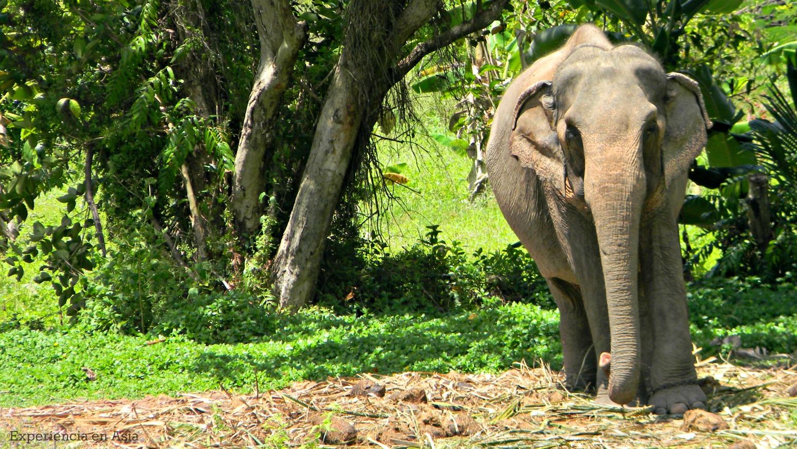 elefante asia