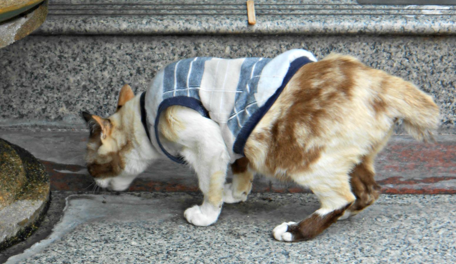 gato asia