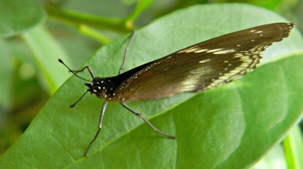 mariposa asia