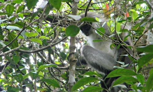 mono cara negra malasya