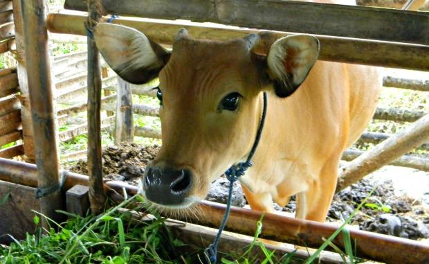 vaca bali